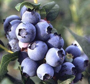 Blueberry Production and Pruning Workshop @ UK Horticulture RCARS | Jackson | Kentucky | United States